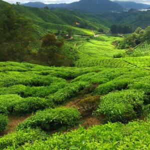 Amazing Scenery at Boh Tea Plantations
