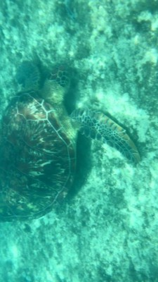 Another Green Turtle
